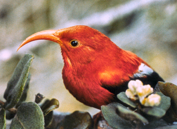 'I'iwi, Vestiaria coccinea. Photo: TNC archives