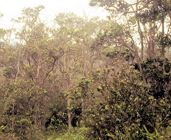 Ohia montane dry forest