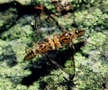 Drosophila heteroneura is an endemic picture-winged pomace fly found only on Hawai'i Island