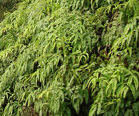 uluhe ferns cover wet cliff