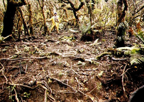 pig damage in forest understory