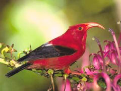 'I'iwi, a native honeycreeper