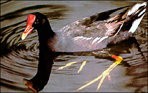 Hawaiian gallinule, an endangered waterbird